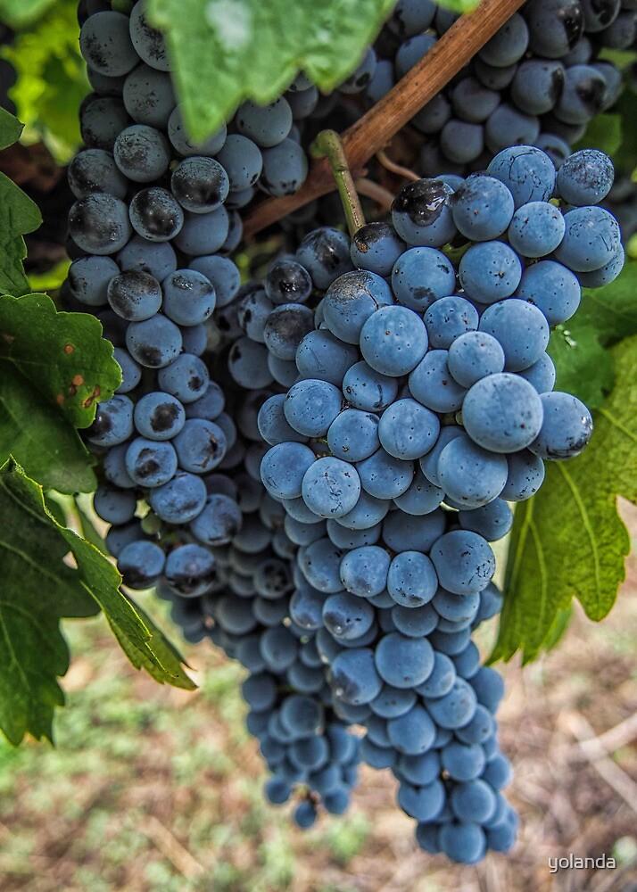 Mudgee Grapes by yolanda