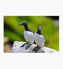 Guillemots, Saltee Island, County Wexford, Ireland Photographic Print