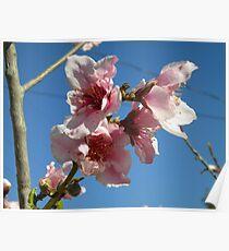 Peach Tree Poster