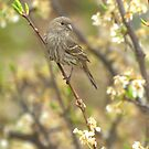 Female House Finch In Plum Tree by K D Graves Photography