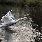 Swan Take off 1 by Peter Barrett
