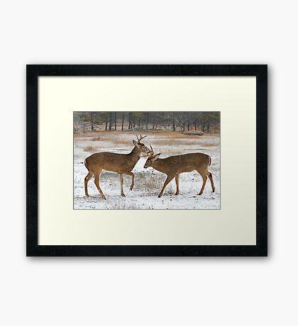 Battle of the Big Bucks - White-tailed deer Framed Print