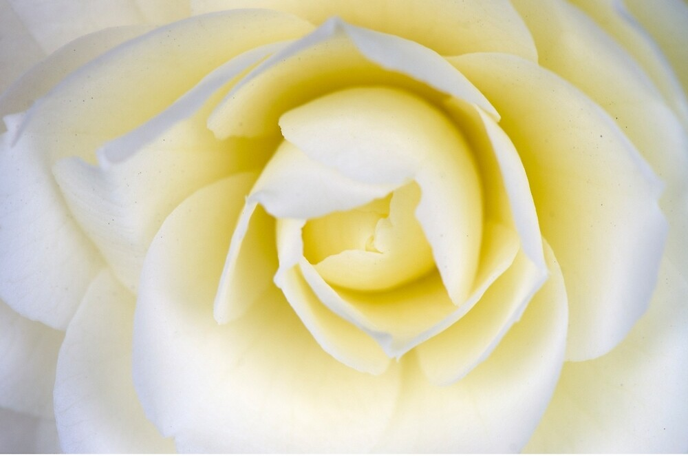 Cream Camellia by imperfecteye