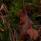 Red Squirrel Close Up by Sue Fallon Photography