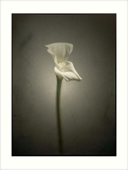 White Arum by zillionpictures