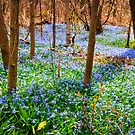 Spring meadow with blue flowers glory-of-the-snow by Elena Elisseeva