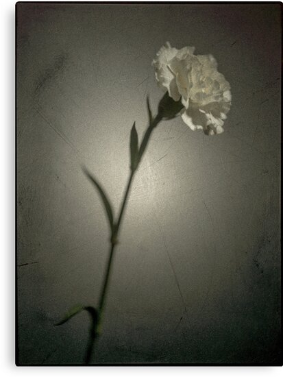 Carnation by zillionpictures