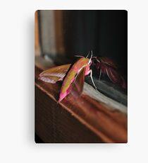 Nature macro: Elephant Moth  Canvas Print