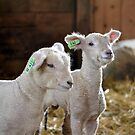 Little Lambs by Brian Gaynor