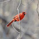 Cardinal male by Kate Farkas