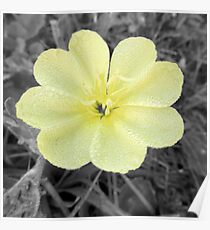 Yellow Cinquefoil Color Isolation Poster