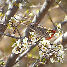 Plum Blossoms With Male House Finch by K D Graves Photography