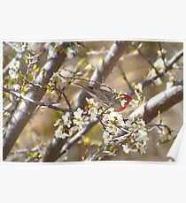 Plum Blossoms With Male House Finch Poster
