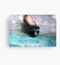 Cute raccoon dog Canvas Print