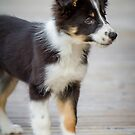Border Collie Puppy - Standing by Paul Bird