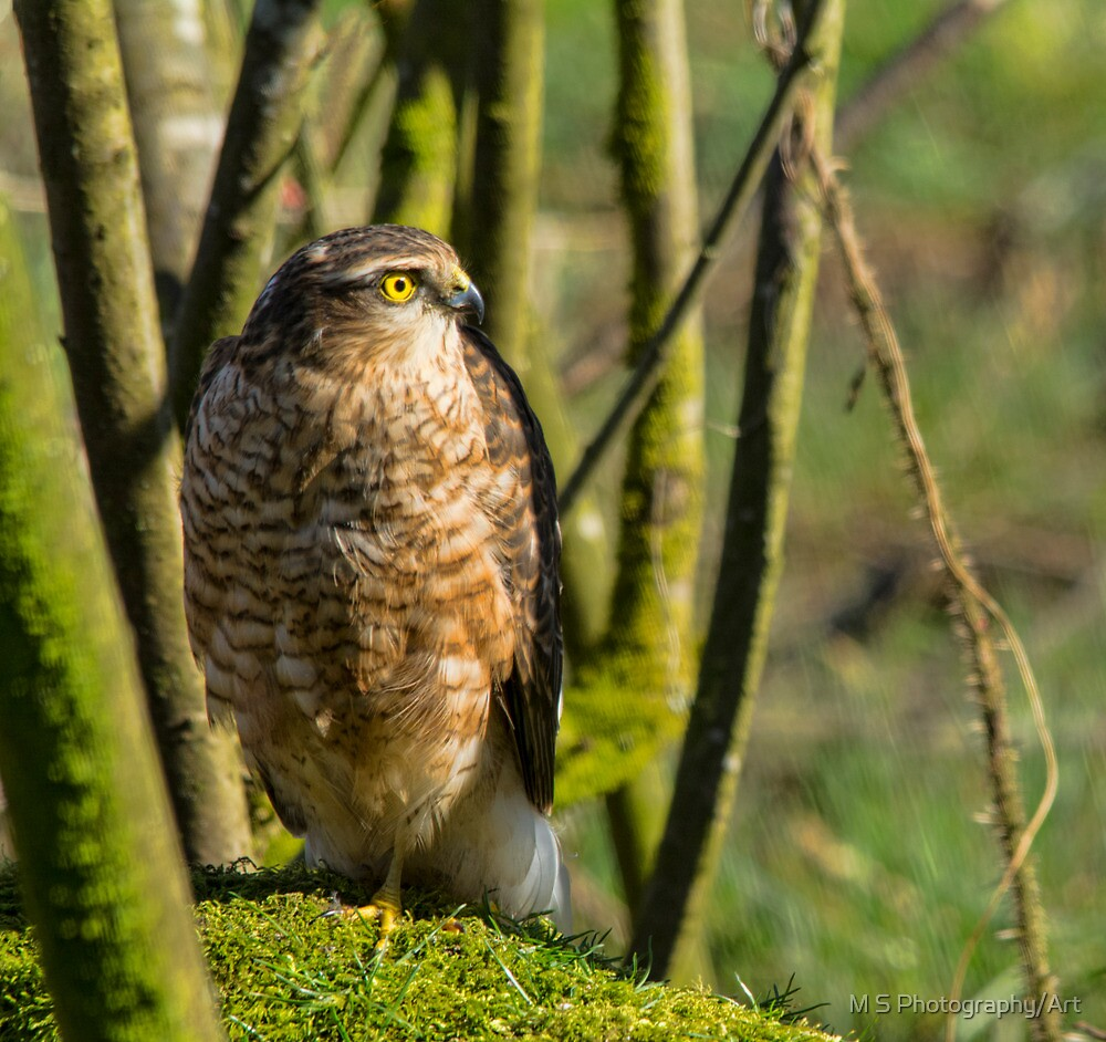 Sparrow Hawk by M S Photography/Art