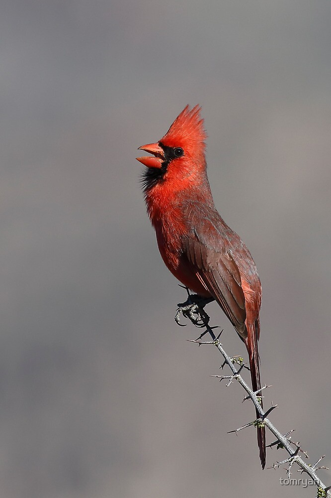 Northern Cardinal by tomryan