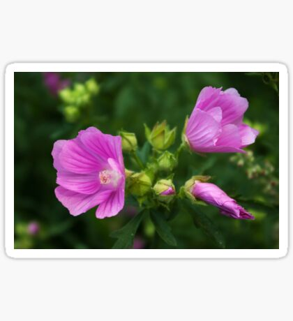 Delightful pink Mallow flowers Sticker