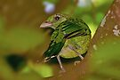 Green Catbird by Robert Elliott
