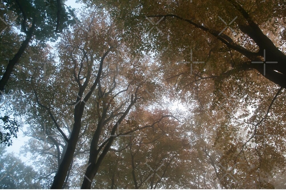 Looking up into misty autumn treetops. by LindaCooke
