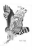 marsh hawk by beckalbright
