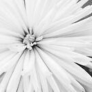 White Chrysanthemum  by Michelle Ordever