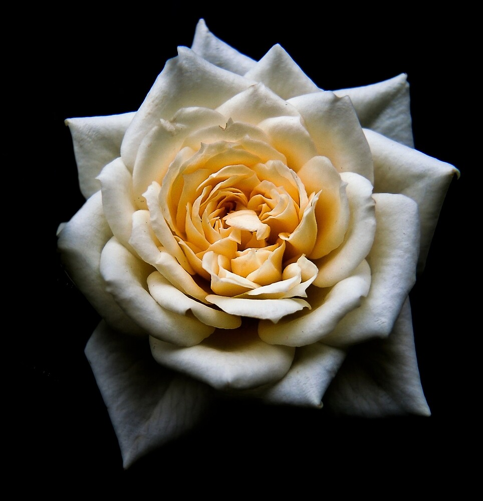 Heart of a white rose by beatrice11