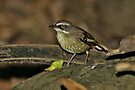 White-browed Srubwren  by Robert Elliott