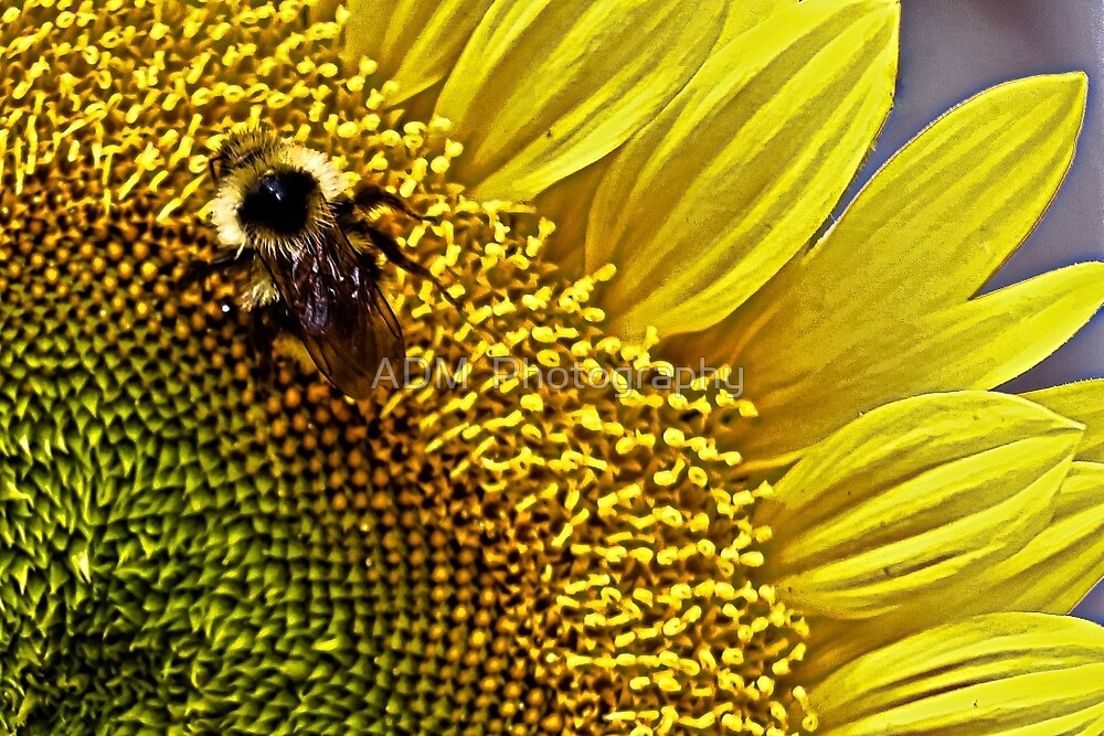 Bee and Sunflower by Amber D Hathaway Photography