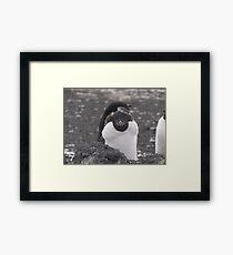 Adelie Penguin - moulting Framed Print