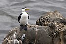 "Little Pied Cormorant ~ ""Like a Shag on a rock"" by Robert Elliott"
