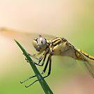 dragonfly by Belinda Cottee