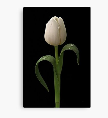 White Tulip Canvas Print