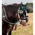 Shire horses by daveashwin