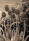 sepia tulip clump by dedmanshootn