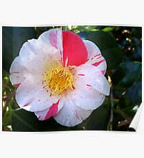 Camellia Show-off Poster