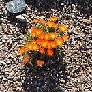 Orange Desert Flowers Arizona Style by AuntieBarbie