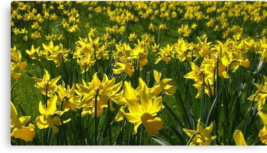 Daffodils by John Evans