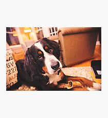 Sweet Bernese Mountain Dog Photographic Print