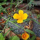 Yellow Poppy by hdubarry