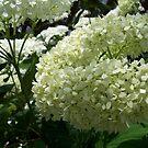 white hydrangea by hdubarry