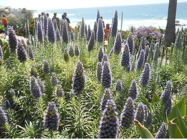 California flowers by beckalbright