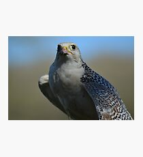 Peregrine falcon on the prowl Photographic Print