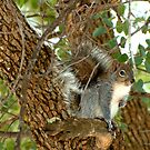 Western Grey Squirrel In A Tree by K D Graves Photography