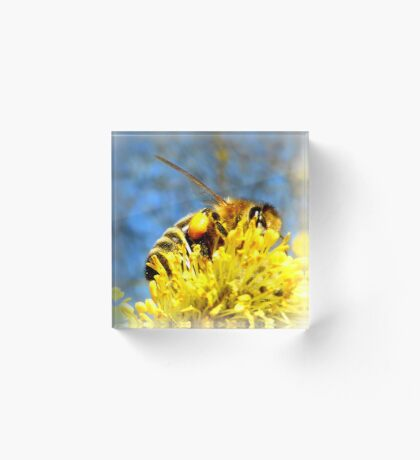 Bee with pollen on pussy willow Acrylic Block