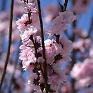 Blossoming Peach Tree by Kate Farkas