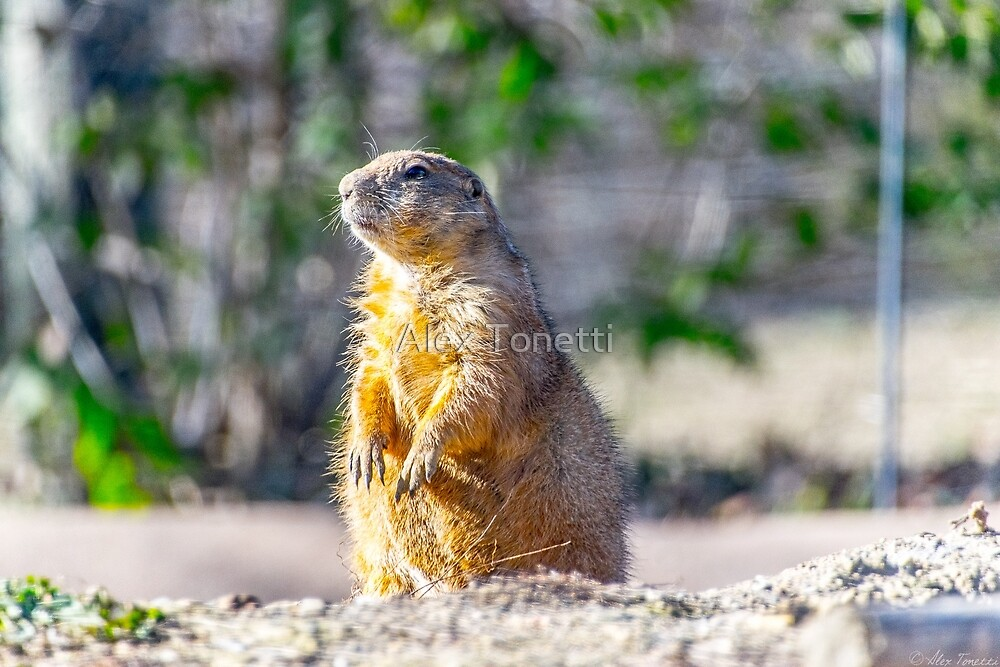 The Good Gopher by Alexander Tonetti