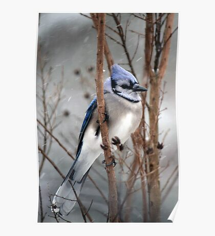 January Snow - Blue Jay Poster