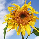 Sunflower by Handations