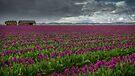 The Tulips Farm by Dan Mihai